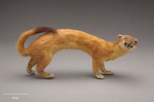 Stoat, Mustela erminea, collected 1929, Unknown, Unknown. Gift of the Wellington City Council, 1929. CC BY-NC-ND licence. Te Papa (LM000273)