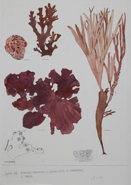 Curdiea red seaweeds.  Drawings by Nancy Adams.  CA000892/001/0028. Image Te Papa CC BY-NC-ND