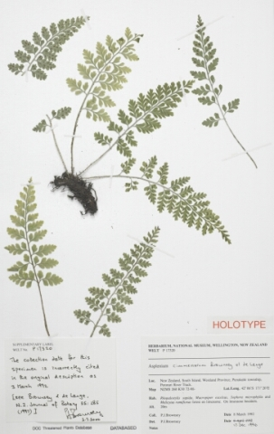 The holotype, or name-bearing specimen, of the cave spleenwort, Asplenium cimmeriorum, which was a new species named by Pat.