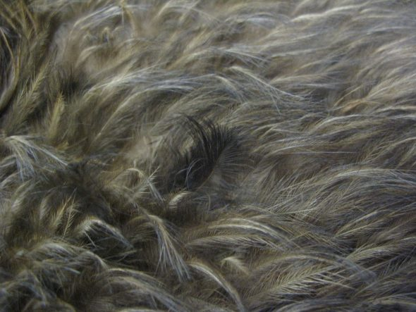huia feathers amongst brown kiwi in kahu kiwi me003714