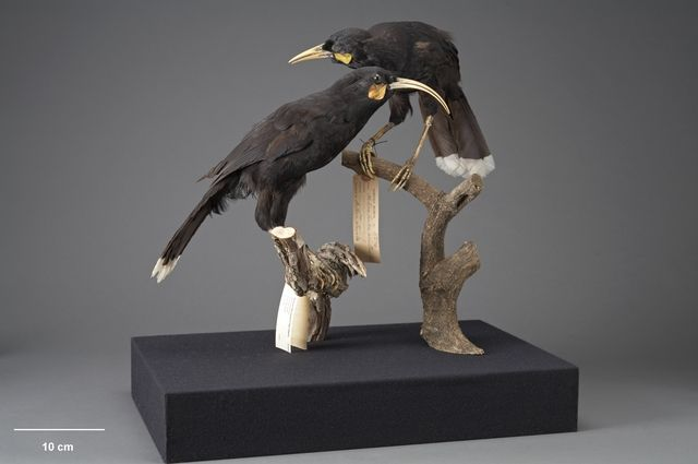 pair of huia OR.000096