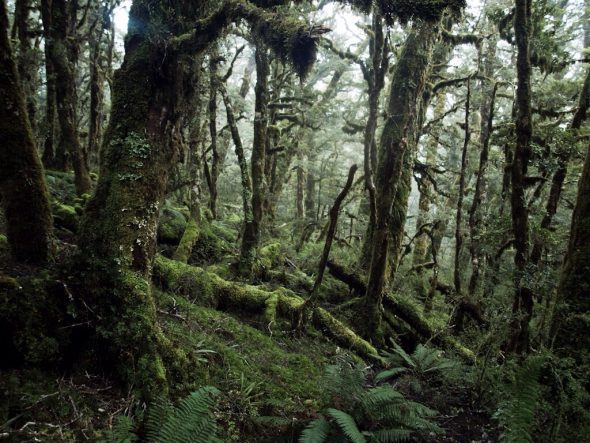Fiordland forest by lifacolor, https://www.flickr.com/photos/lifacolor/5756256712