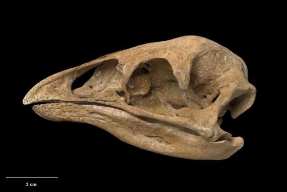 Skull and mandible of little bush moa (Anomalopteryx didiformis). Te Papa Collections Online S.035274
