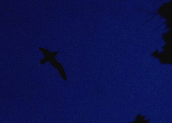 A Westland petrel flies over the colony at dusk. Image: Colin Miskelly, Te Papa