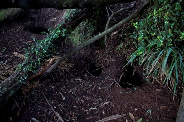 Westland petrel burrows under forest in Paparoa National Park. Image: Colin Miskelly, Te Papa