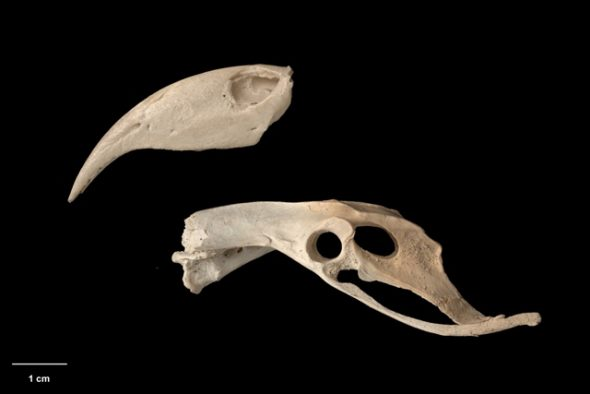 Upper mandible and pelvis of Chatham Island kaka (Nestor chathamensis). Te Papa Collections Online S.029990