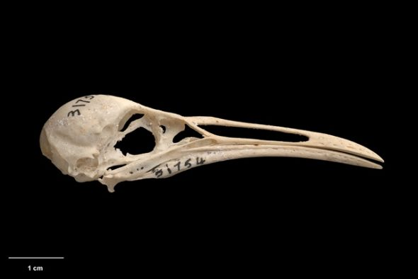 Chatham Island rail (Cabalus modestus). Te Papa Collections Online S.031754