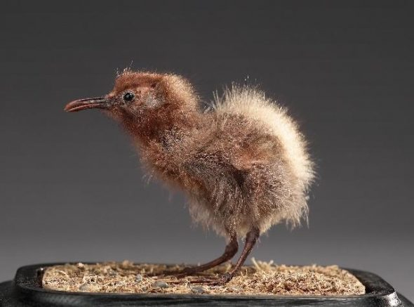 Mounted chick of Chatham Island rail (Cabalus modestus). Te Papa Collections Online OR.001371