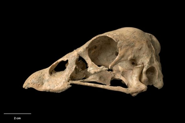 Skull of South Island goose (Cnemiornis calcitrans). Te Papa Collections Online S.035266