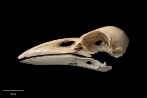 Skull and mandible of Chatham Island raven (Corvus moriorum). Te Papa Collections Online S.028679