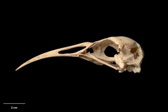 Hawkins' rail (Diaphorapteryx hawkinsi). Te Papa Collections Online OR.007967