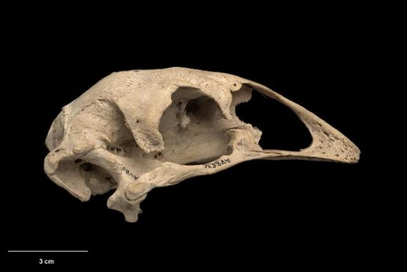 Skull of eastern moa (Emeus crassus). Te Papa Collections Online S.000470
