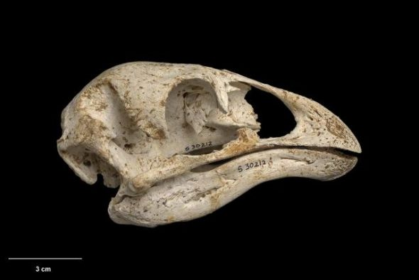 Skull and mandible of stout-legged moa (Euryapteryx curtus). Te Papa Collections Online S.030212