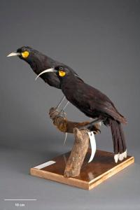 Huia (Heteralocha acutirostris). Te Papa Collections Online OR.001328