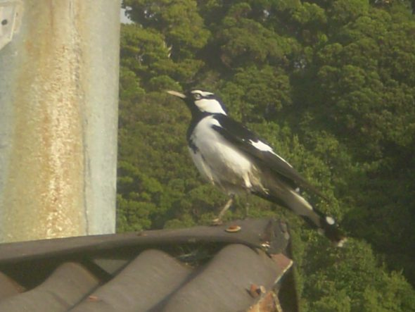 The adult male magpie-lark perched on the roof of the Department of Conservation hut at Gorge River, 29 April 2008. Image: Robert Long