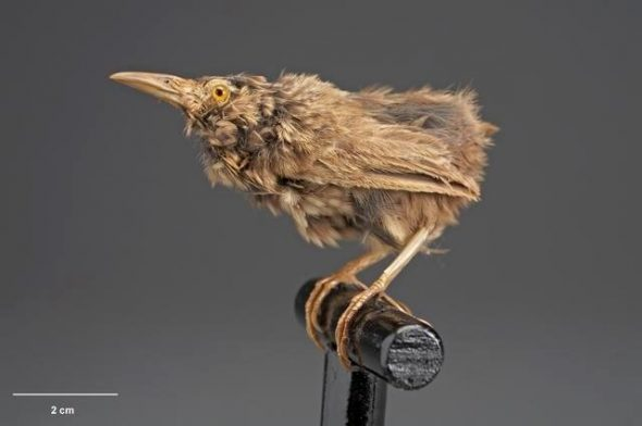 Lyall's wren (Traversia lyalli). Te Papa Collections Online OR.005098