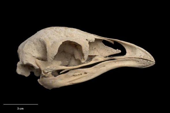 Skull and mandible of upland moa (Megalapteryx didinus). Te Papa Collections Online S.033763