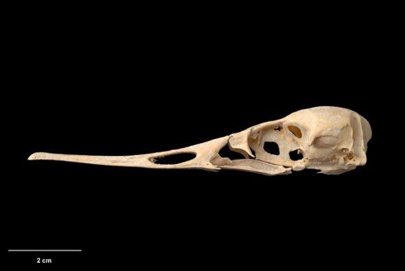 Skull of Chatham Island merganser (Mergus milleneri). Te Papa Collections Online S.029496