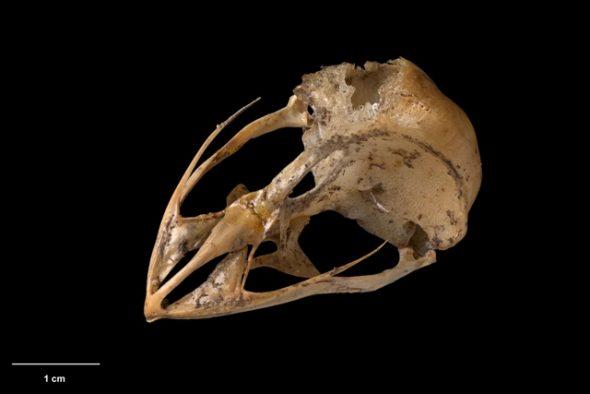 Skull ofNew Zealand owlet-nightjar (Aegotheles novaezealandiae). Te Papa Collections Online S.022454