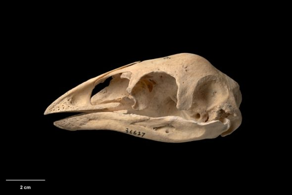 Skull and mandible of Mantell's moa (Pachyornis geranoides). Te Papa Collections Online S.036627