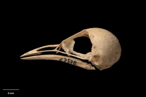 Skull and mandible of South Island stout-legged wren (Pachyplichas yaldwyni). Te Papa Collections Online S.023578