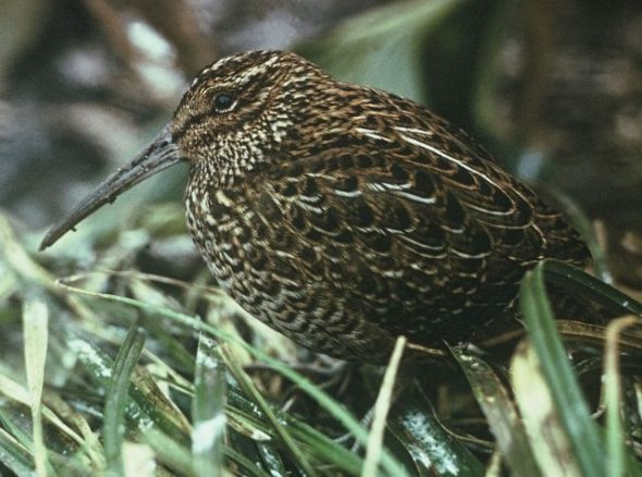 This South Island snipe (Coenocorypha iredalei) was photographed in 1964 during a failed rescue attempt after rats invaded its last island refuge. Image: Don Merton, New Zealand Birds Online