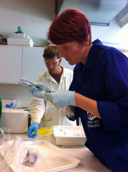 Dr Kat Bolstad (foreground) of AUT's ALCES group extracts squid ink from the latest Te Papa colossal squid specimen. Dr Chris Pook prepares specimen samples (background). Photo: Aaron Boyd Evans; Copyright: ALCES.