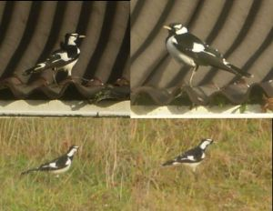 Further images of the magpie-lark at Gorge Rover. Images courtesy of Robert Long