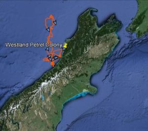 Foraging track of a male Westland petrel during 9 days while his mate was caring for their egg. Data courtesy of Susan Waugh, Te Papa. Base map from Google Earth