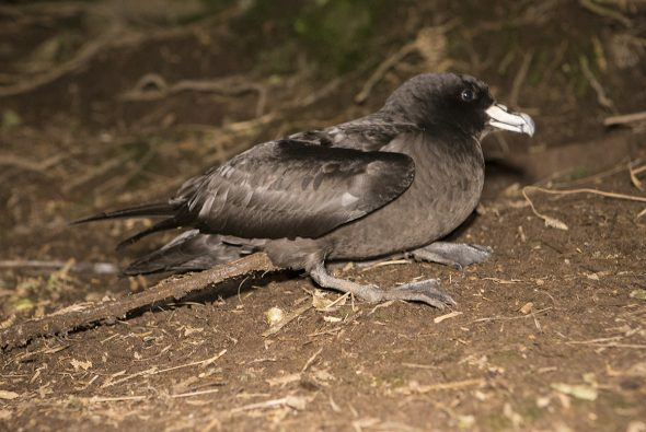 A Westland Petrel photographed on the forest floor at night (Paparoa National Park, Punakaiki, New Zealand)