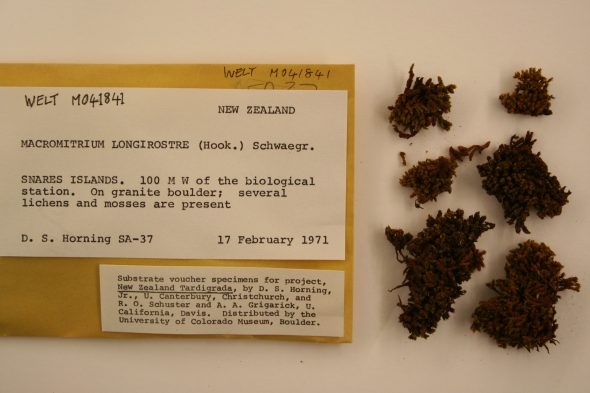 A moss specimen: Macromitrium longirostre (Hook.) Schwägr., collected 17 Feb 1971, Snares Islands, 100m W [west] of the Biological Station., New Zealand. Te Papa (M041841)