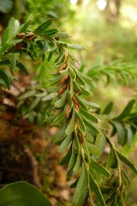 The fork fern Tmesipteris tannensis is indigenous to New Zealand, being present here without human intervention. Moreover, it is endemic, being indigenous to New Zealand and nowhere else in the world. About 45% of the indigenous ferns and 80% of the indigenous seed plants are endemic to New Zealand. Photo Leon Perrie CC BY-NC.