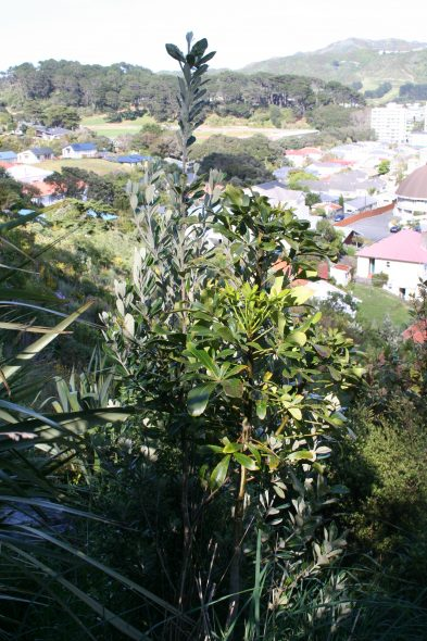 Two native weed species growing together, karo (Pittosporum crassifolium) and houpara (Pseudopanax lessonii), are now widely distributed in the Wellington hills. Image: Antony Kusabs, Te Papa, October 2015.