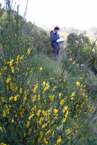Scotch broom (Cytisus scoparius). One of the weed species which threaten recently planted sites. image: Antony Kusabs, Te Papa, October 2015.