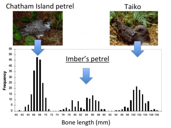 Frequency graph of the lengths of humeri (wing bones) of all Pterodroma bones on the Chatham Islands. The largest and smallest bone classes correspond to known species. The middle-sized bones belong to a new species. Graph from Copper and Tennyson (2008) [http://www.dinosauria.org/docs/oryctos/07_19_cooper.pdf]