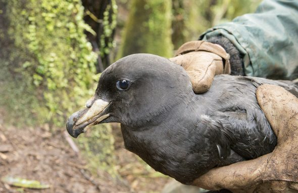 A Westland Petrel is gently held by Te Papa scientist Jean-Claude Stahl after being weighed.