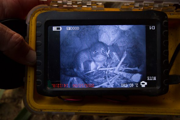 Little penguin in a natural nests at Motuara Island. Photo: Tim Poupart, Copyright: Te Papa.