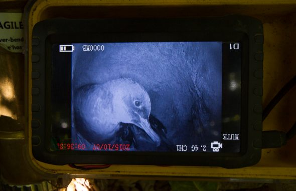 Sooty shearwater in its burrow at Motuara Island, seen through the burrow-scope monitor. Photo: Tim Poupart, Copyright: Te Papa.