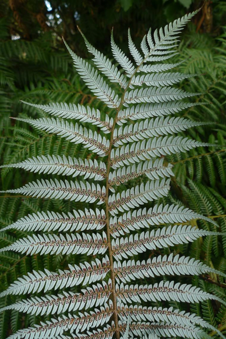 Silver fern, with its characteristic white under-surface of the frond. The photo shows part of a primary pinna, and its secondary pinnae are arranged horizontally in this photo. Something approximating a secondary pinna may end up on the New Zealand flag. Photo by Leon Perrie. © Te Papa.