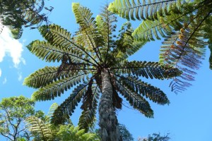 Mamaku, Cyathea medullaris. This is New Zealand's tallest tree fern. It is characterised by its thick, black stipes (the stalks of the fronds). It is more common in warmer, wetter areas. Photo © Leon Perrie.