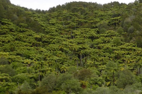 Lots of mamaku growing on a hillside. Photo © Leon Perrie.
