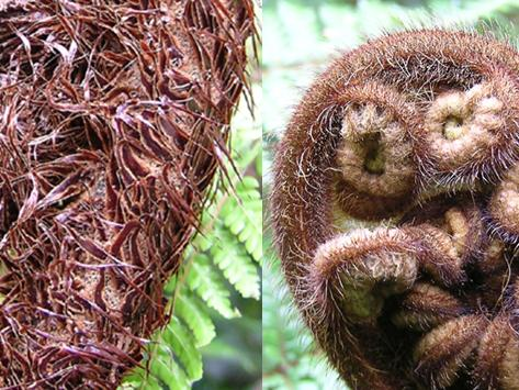 At left is part of a koru, or unfurling frond, of silver fern (Cyathea dealbata), clothed in scales. For comparison at right, is a koru of whekī (Dicksonia squarrosa), which is clothed in hairs, whekī being one of New Zealand's three species of hairy tree ferns. Hairs on ferns are about as narrow as mammal hairs. On a fern, if it is wider than a hair, it is called a scale. The scales on silver fern are clearly wider than hairs. Composite © Te Papa.