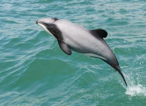 Hector's dolphin. Image: Steve Dawson, New Zealand Dolphin Trust