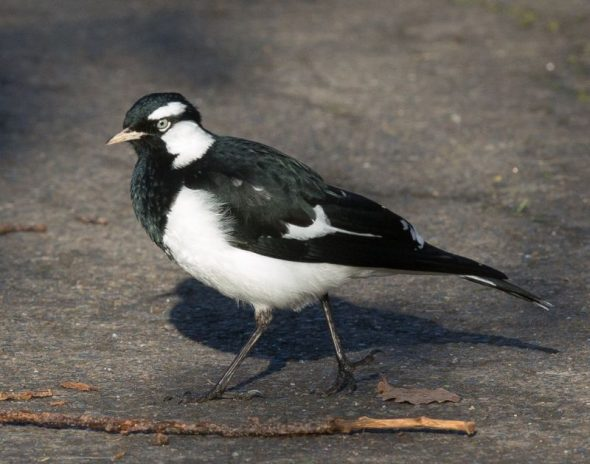 Magpie-lark - the most recent vagrant bird species to be added to the New Zealand list. Image: Sonja Ross, NZ Birds Online