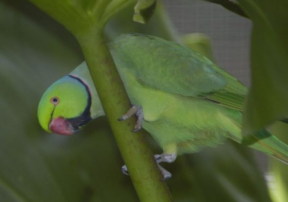 Rose-ringed parakeet - recently declared an Unwanted Organism in New Zealand. Image: Jim Denny, NZ Birds Online