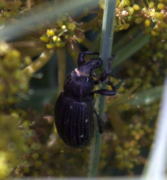A Wellington speargrass weevil on Mana Island, November 2015. Image: Colin Miskelly, Te Papa
