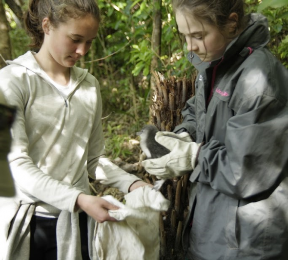 Wellington teenagers Arielle and Hannah helped out with the research by weighing chicks. Photo Susan Waugh; Copyright Te Papa.