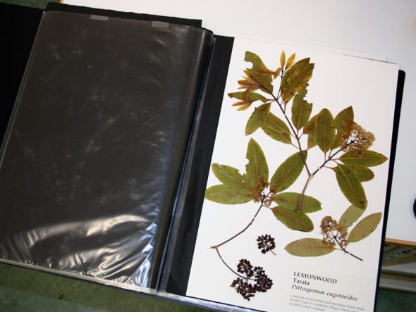 A book of herbarium specimens of native New Zealand plants, made by Te Papa staff specifically for this type of educational outreach activity. Photo by Heidi Meudt © Te Papa.