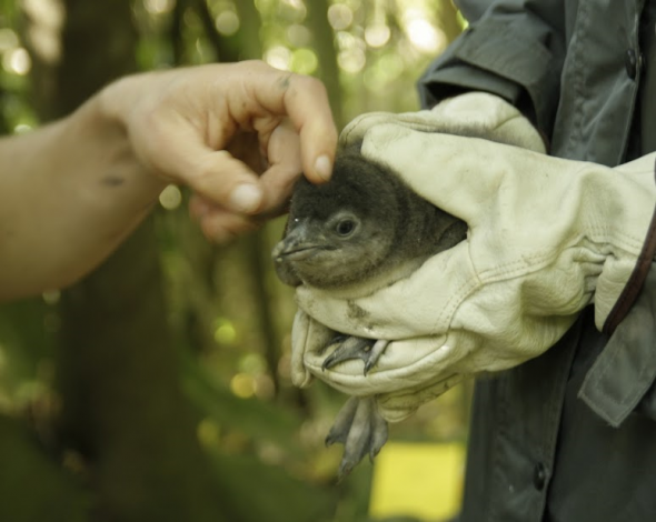 This little penguin chick was very calm and composed during the weight and measure session, and got a little tickle on the head on his way back to the burrow. Photo: Susan Waugh; Copyright Te Papa.