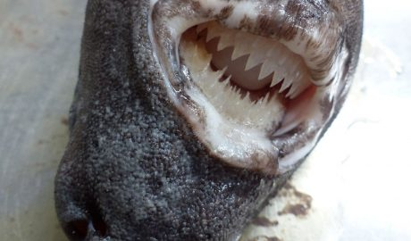 Seal shark head, jaws open showing teeth